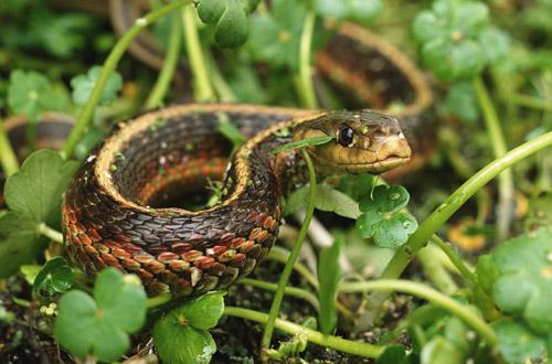 yılan kovucu